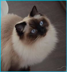 seal colorpoint ragdoll